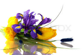 This picture is from the web, at http://www.colourbox.com/preview/1932682-401411-irises-and-yellow-tulips-on-a-white-background.jpg